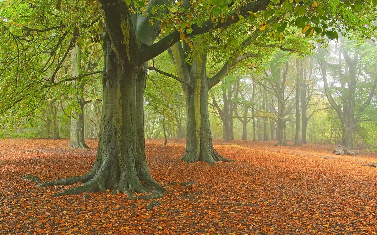 Autumn Beech trees at Hamstead Heath