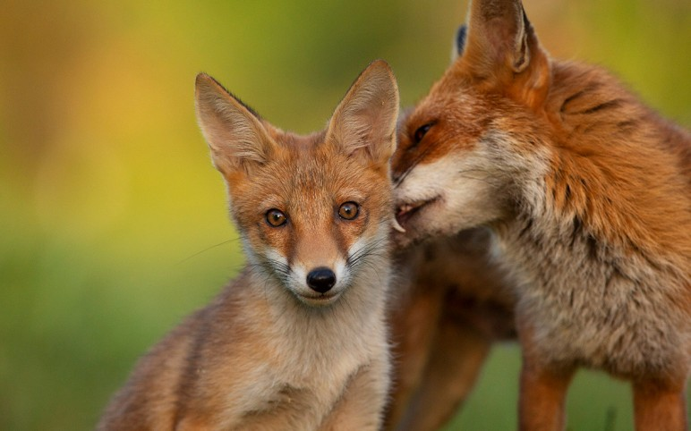 Have you seen my new gallery of foxes?