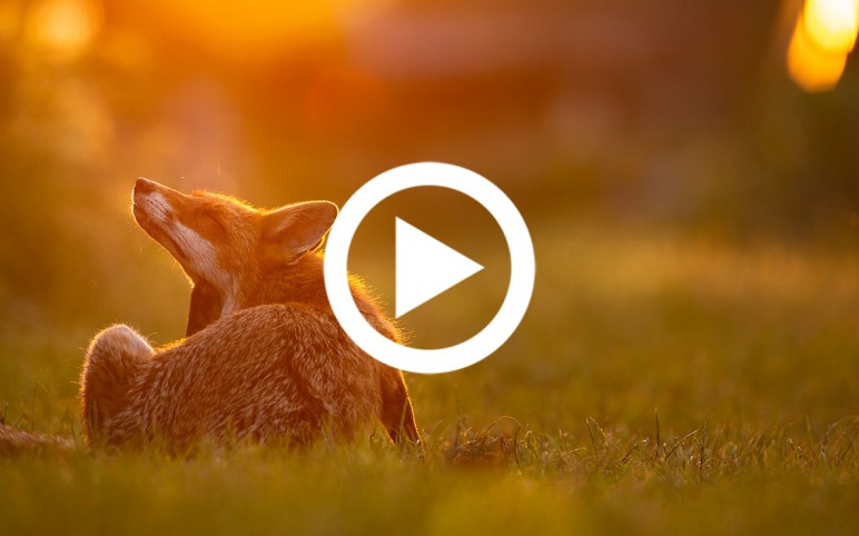 Shooting foxes, the compassionate way